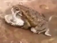 【レイプ】メスガエルを正常位で犯すオスガエル